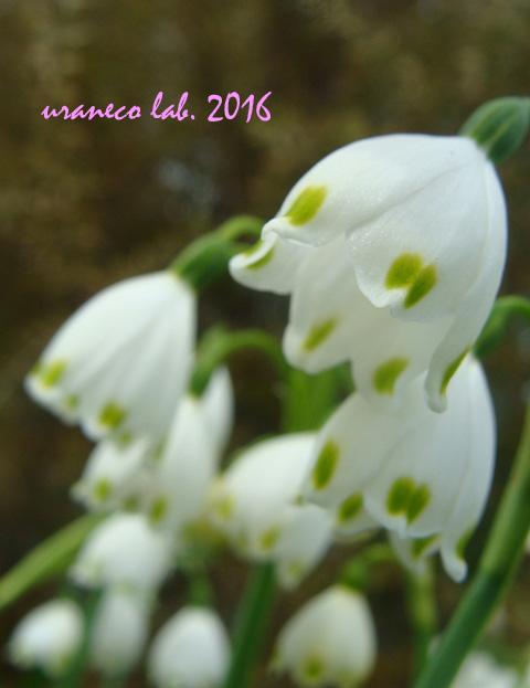 3月22日雪の妖精