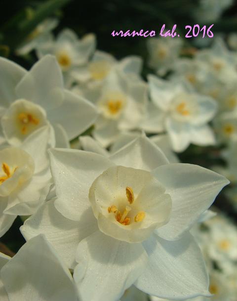 3月22日水仙白