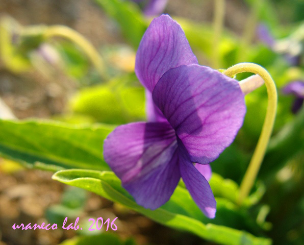 3月22日春の紫いろ4