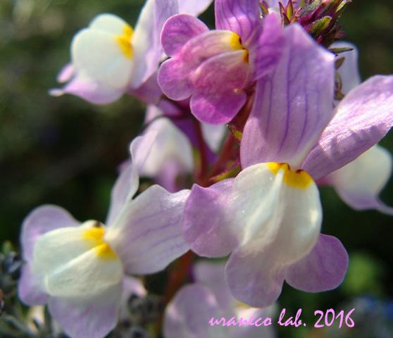 3月22日春の紫いろ3