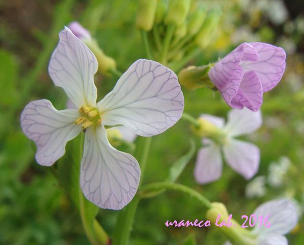 3月22日春の紫いろ2