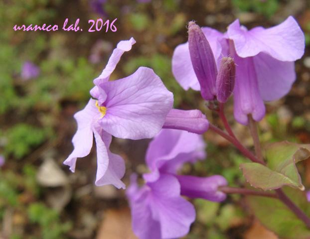 3月22日春の紫いろ