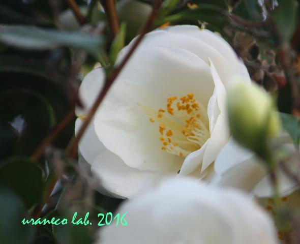 3月25日つばき白