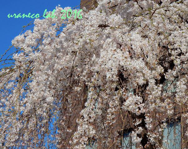 3月28日しだれ桜2