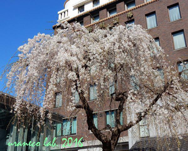 3月28日しだれ桜