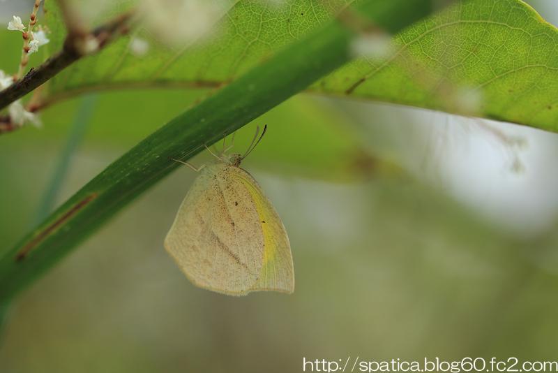 ツマグロキチョウ秋型
