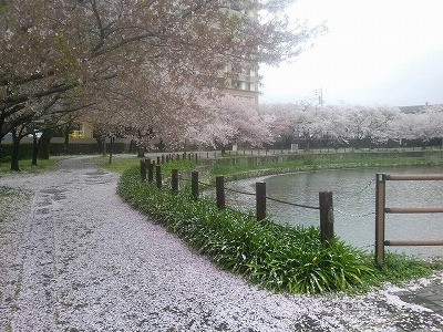 さが桜20163