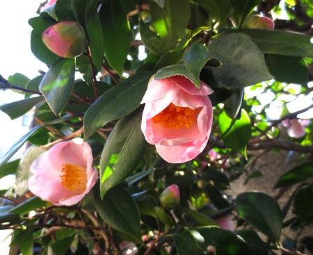 013早咲き椿、