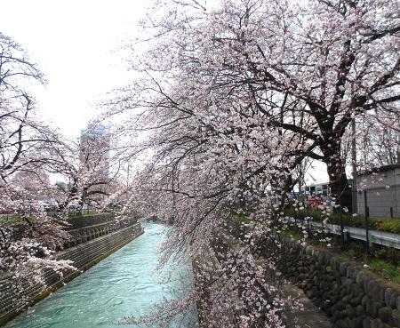001前橋公園の桜