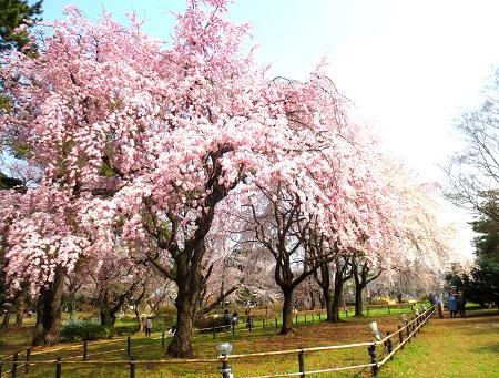 035しだれ桜