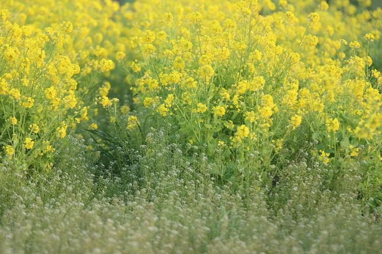20160326菜の花4-1a
