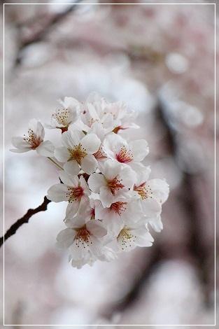桜の季節が大好きです♪
