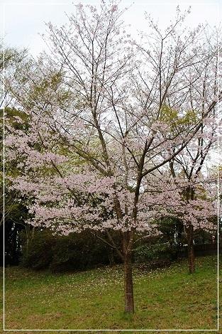 お山の桜はちょっと寂しい~