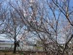 やまが桜園2