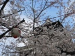 熊本城の桜2