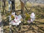 桜ドアップ