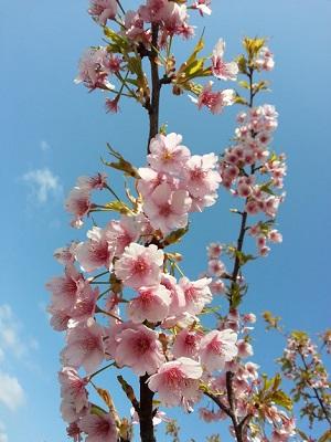 160320_桜_02