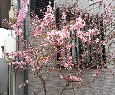160327_桜01