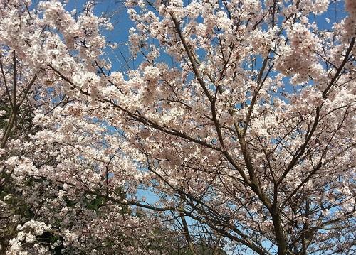 160402_桜02