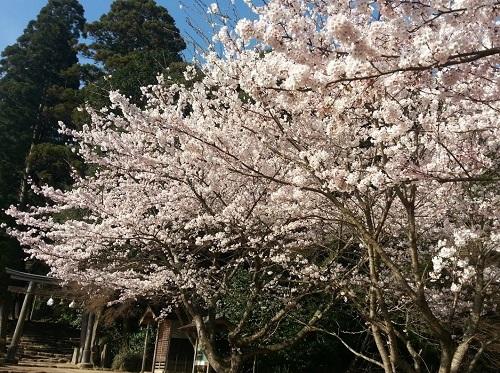 160402_桜03