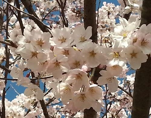 160402_桜04