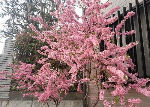 160403_桜02