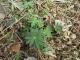 新芽が出てきたルピナス