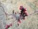 赤くなってきたアンズの花芽