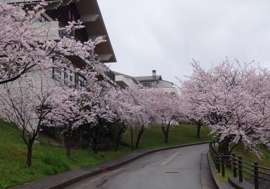 5に、ピカソの癒しの桜