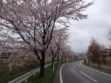 6に、角間の学びの桜