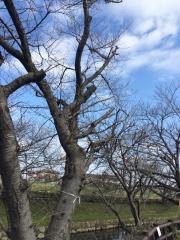 鴻巣市榎戸の元荒川の桜 田口不動産