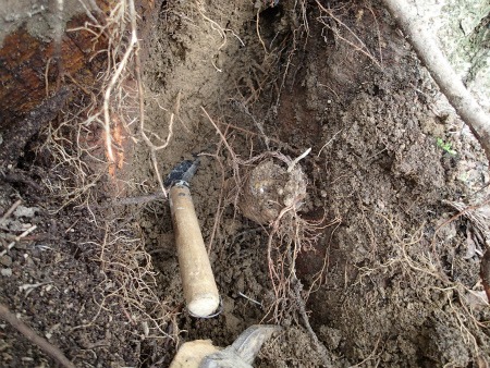 根っこを掘るよ