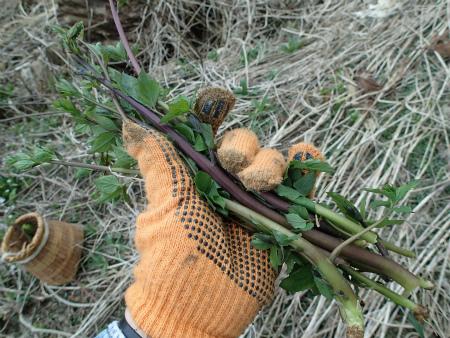 ツルニンジンの茎