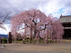 3-26舞台桜満開の様子