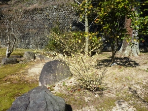 3-29日向水木の花