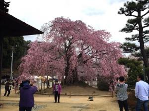 4-3舞台桜1