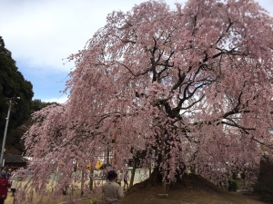 4‐6舞台桜2