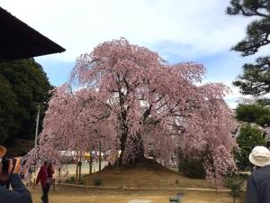 4-6舞台桜1