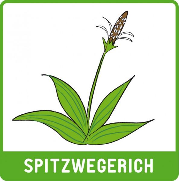 spitzwegerich.jpg