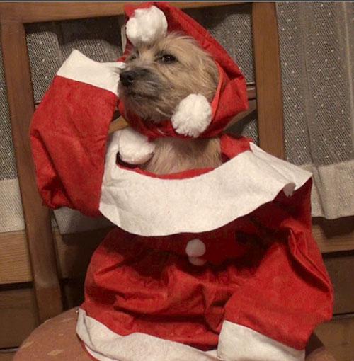 犬の衣装 愛犬サンシンちゃん