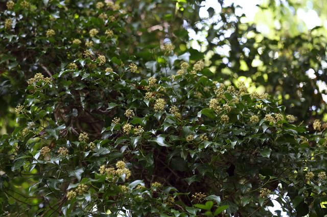 キヅタ(木蔦)