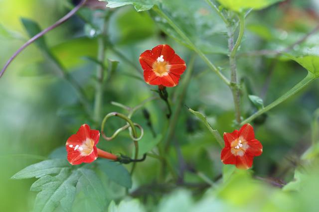 マルバルコウ(丸葉縷紅)