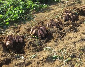 安納芋収穫物2015