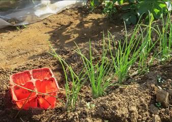 タマネギ苗の借り植え