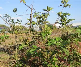 イチジクの木2015