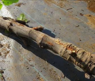 カミキリ虫の入ったイチジクの幹