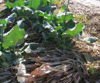 ソルゴの敷き草ブロッコリー