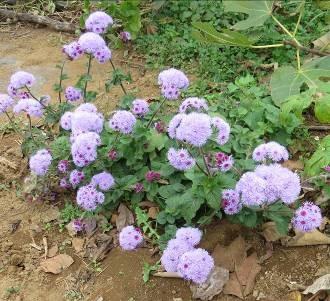 菜園の自生の花2015秋