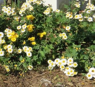 菜園自生の菊2015秋