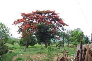 ベナン国火炎樹